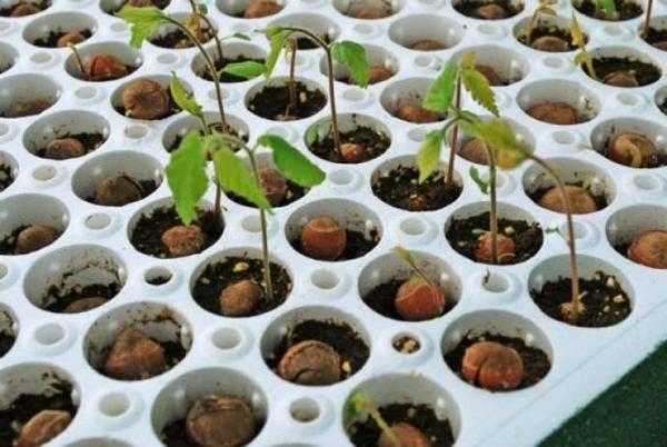Выращивание фундука из ореха