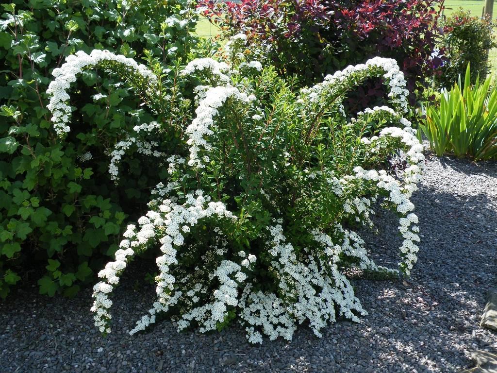 Агротехника спиреи грефшейм в открытом грунте: обрезка, размножение