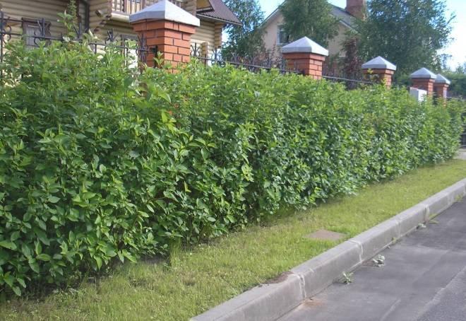 Дерен пестролистный: описание сорта, особенности посадки и ухода