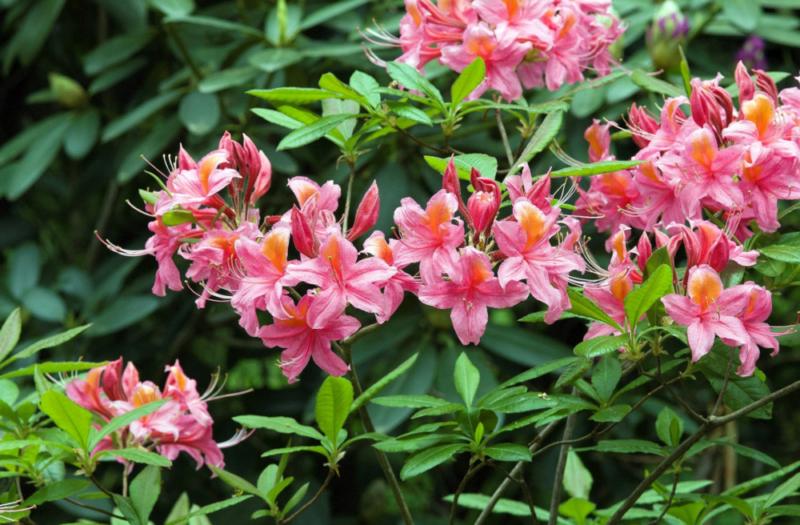 Посадка рододендронов осенью: можно ли проводить в это время года, как правильно происходит размножение азалии черенками, а также уход за растением в открытом грунте