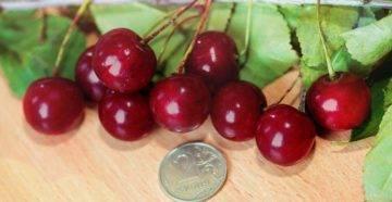 Выращивание вишни брусницына – фото, описание и уход