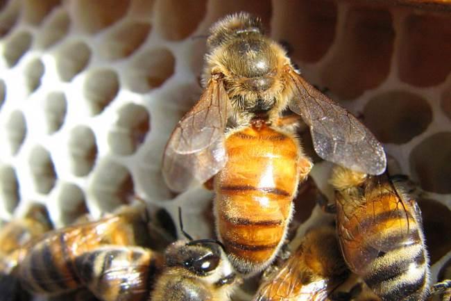 Особенности и описание пчелиной матки