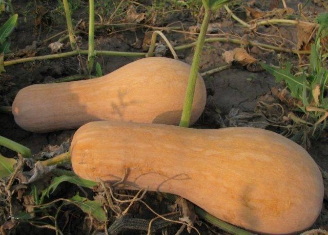 Мускатная тыква: описание 25 сортов, выращивание и уход в открытом грунте, отзывы с фото