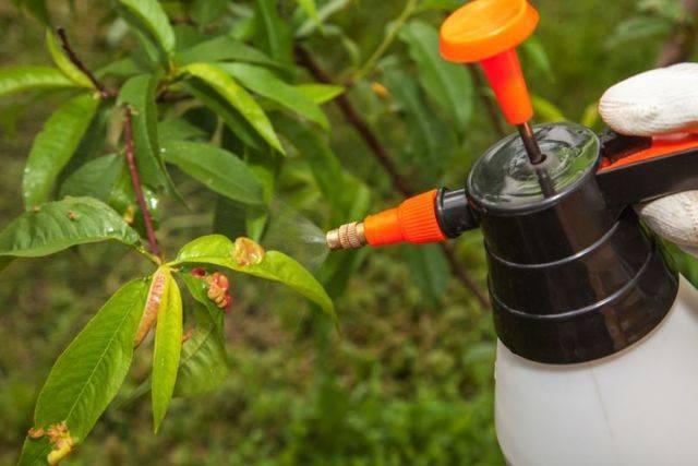 Болезни и вредители персика: описание с фотографиями и способы лечения
