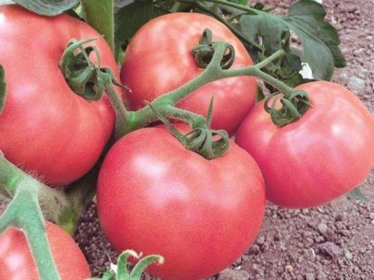 Томаты розовый мед — основные правила выращивания помидоров