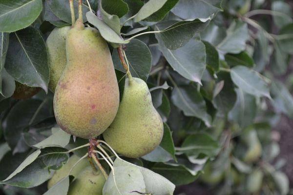 Зимняя и урожайная груша чудесница