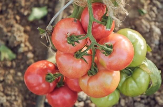 Анюта f1 —  популярный сорт помидоров