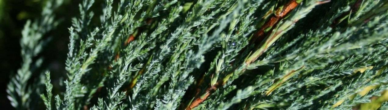 Можжевельник блю эрроу: описание, посадка, уход и выращивание