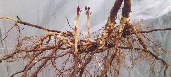Как правильно посадить ежевику весной: советы и рекомендации