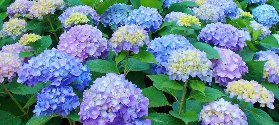 Описание и выращивание крупнолистной гортензии мисс саори