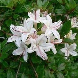 Рододендрон листопадный Кэннонс Дабл