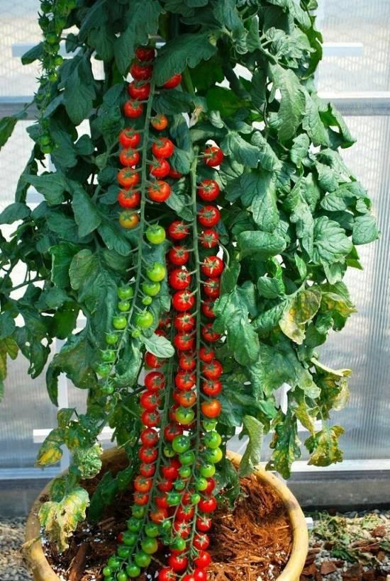 Лучшие сорта комнатных (балконных) томатов – посадка и уход