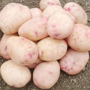 Картофель ильинский
