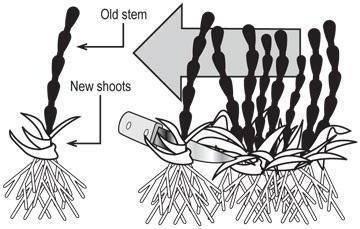 Размножение жимолости черенками осенью, зимой, весной. размножение жимолости съедобной черенками (фото)