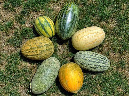 Дыня: выращивание рассады из семян, посадка в открытый грунт и уход