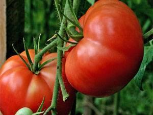 Томат чудо уолфорда — описание сорта, урожайность, фото и отзывы садоводов
