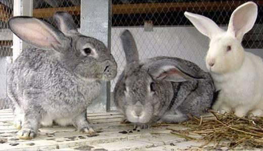 Вирусная геморрагическая болезнь кроликов: симптомы, профилактика, лечение, клинические признаки. |  ветеринарная служба владимирской области