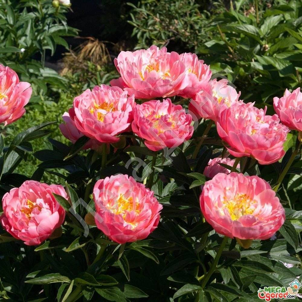 Пионы. секреты пышного цветения