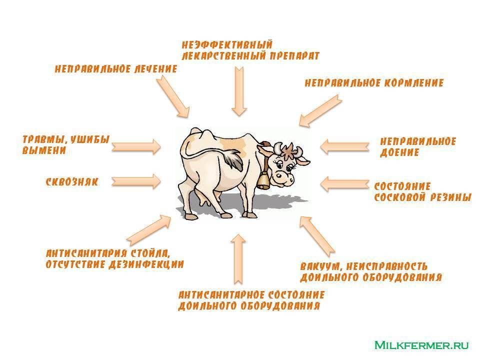 Лечение мастита у коров