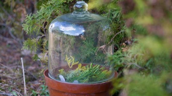 Ели: описание, виды, выращивание и размножение
