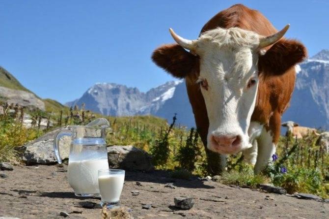 Как появляется и как корова дает молоко?