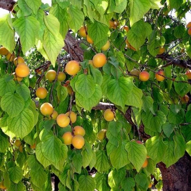 Посадка абрикоса сорта царский — описание и уход