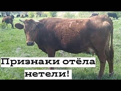 Признаки отела коровы и подготовка