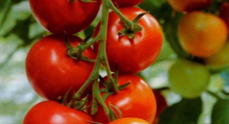 "Томат ""дубок"": характеристика и описание сорта, фото плодов-помидоров, выращивание и уход"
