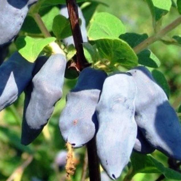 Съедобная жимолость сорта бакчарская — особенности и характеристики