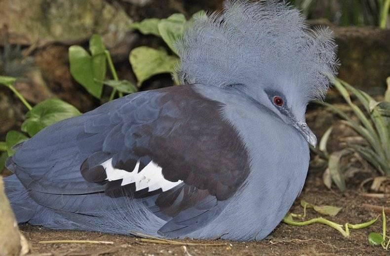 Венценосный голубь. образ жизни и среда обитания венценосного голубя | животный мир
