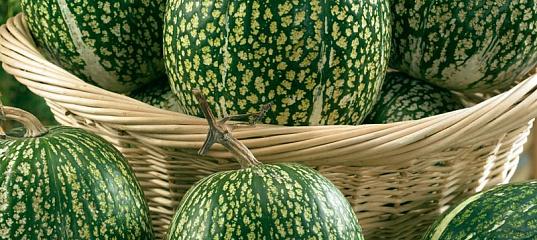Фиголистная тыква. секреты выращивания