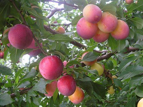 Слива персиковая мичурина описание сорта фото отзывы