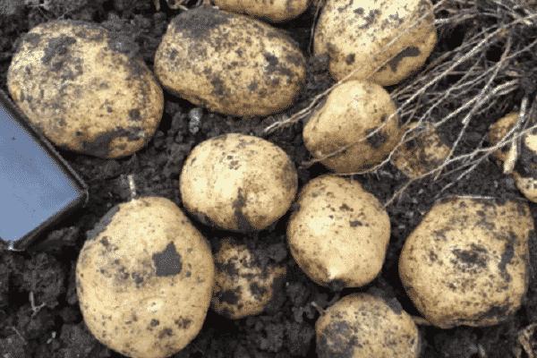 Картофель джувел: описание сорта, посадка, уход, отзывы