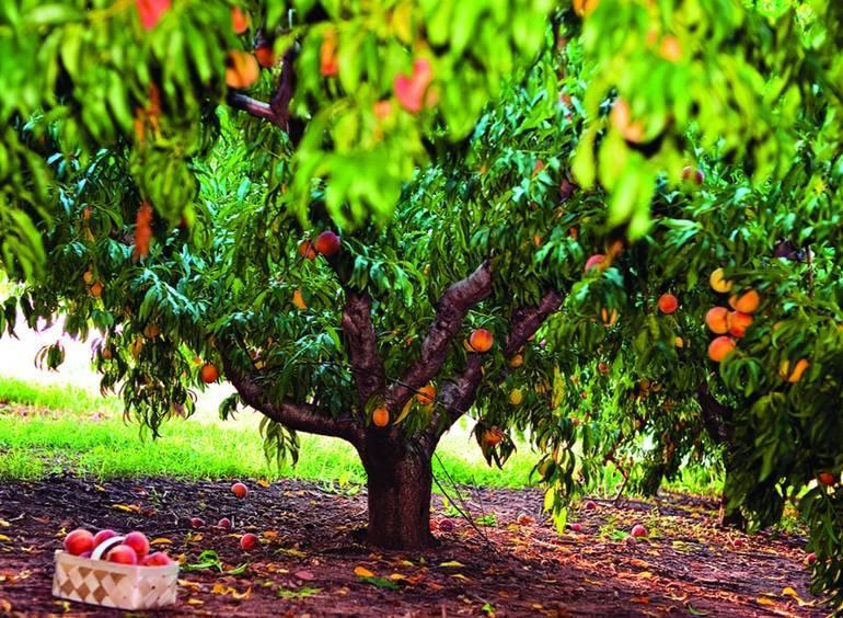 Обрезка персика летом, нужно ли это делать и как