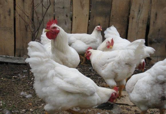 Корниш: мясная порода кур