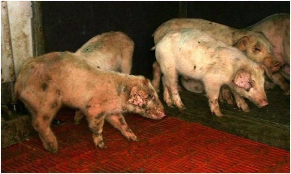 Пастереллёз крупного рогатого скота: симптомы и лечение