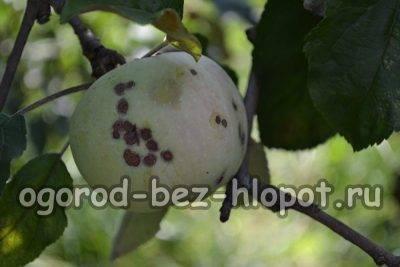 Появилась парша на яблоне. как бороться — советы агрономов