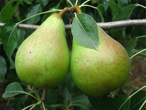 Сажаем грушу осенью по всем правилам – пошаговое руководство