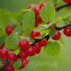 Войлочная вишня юбилейная: описание сорта, характеристики