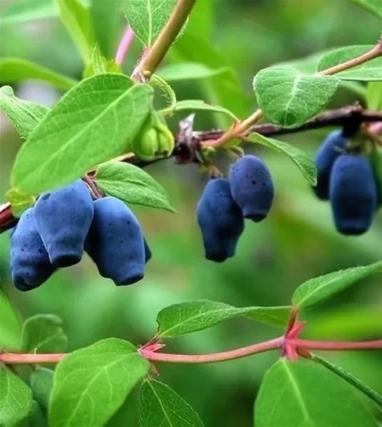 Как размножить жимолость черенками — ягоды грибы