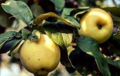 Яблоки антоновка: 50 фото,  виды и сорта, полезные свойства и противопоказания