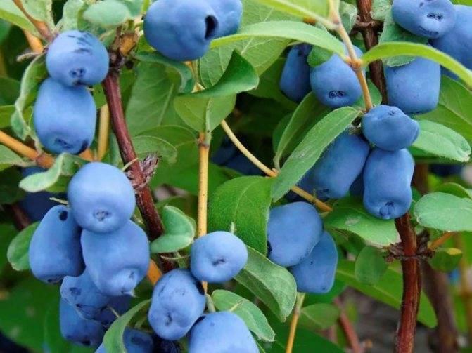 Почему не плодоносит жимолость съедобная: причины низкого урожая