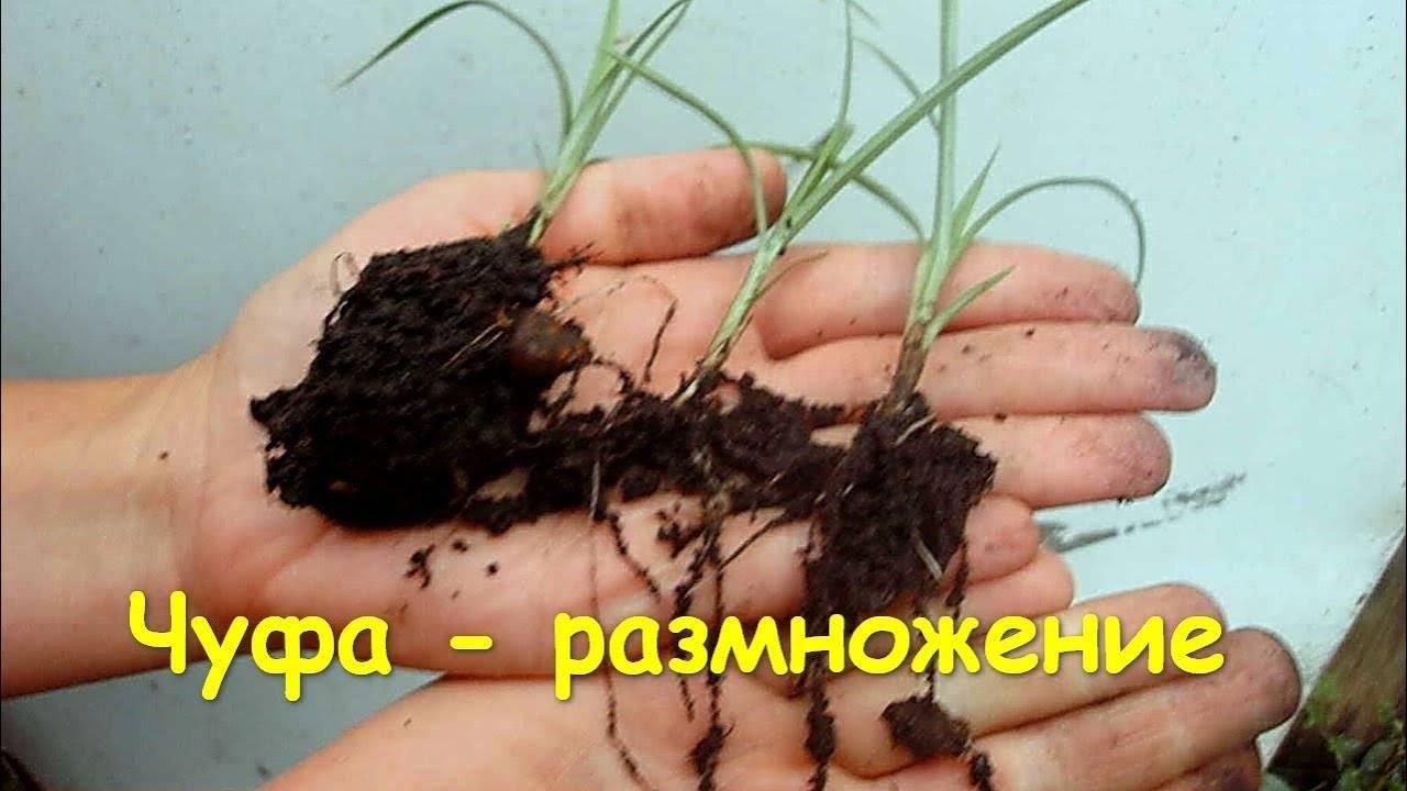 Чуфа: что это за растение