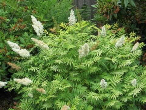 Рябинник рябинолистный «сэм»: описание сорта и особенности выращивания