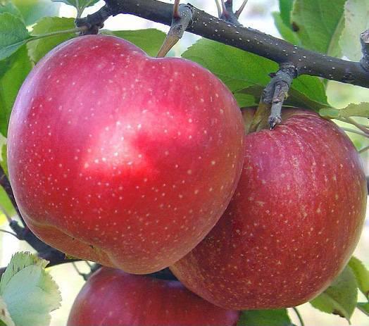 Лучший среди зеленых яблок — сорт ренет симиренко