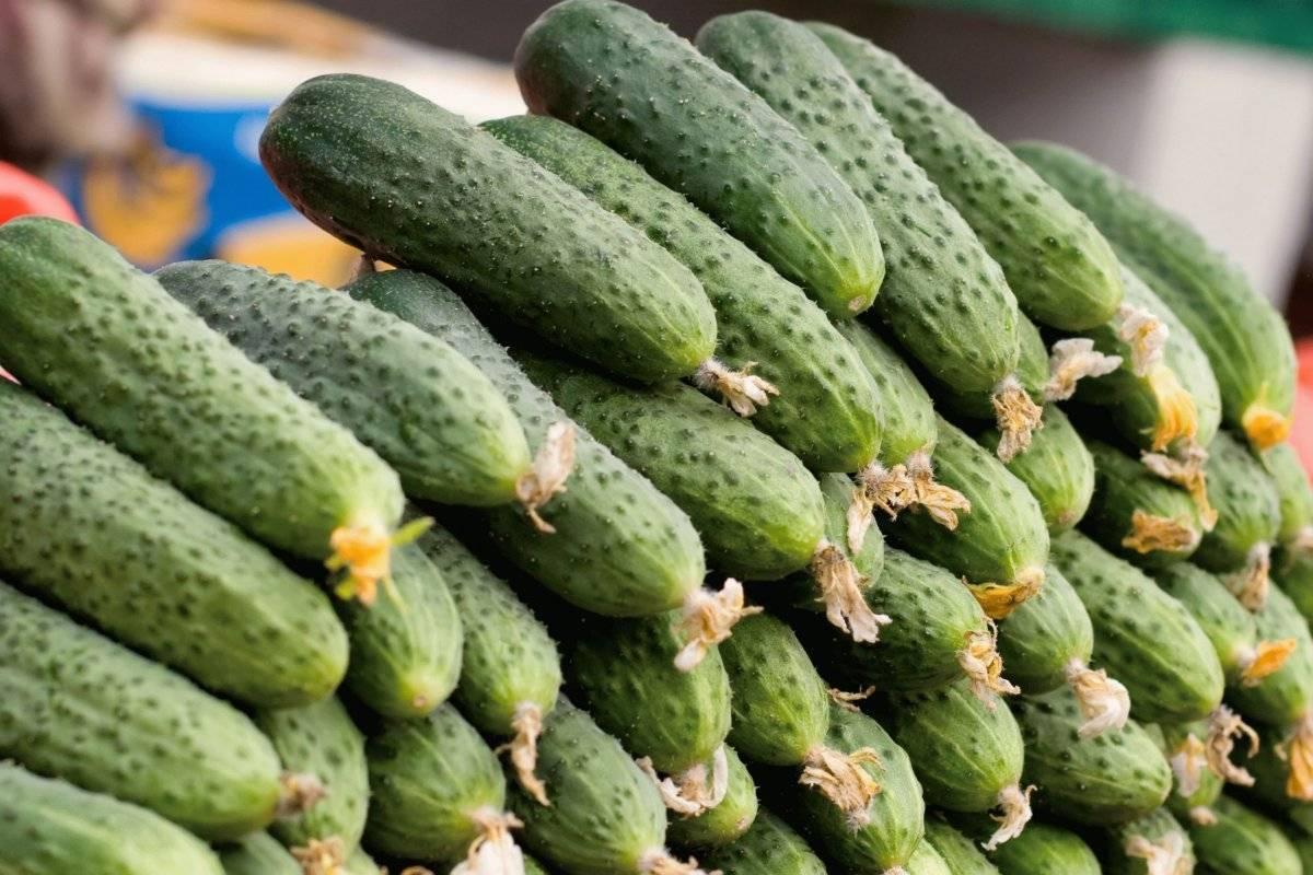 Самоопыляемые сорта огурцов — лучшие сорта для теплицы и открытого грунта. особенности посадки и выращивания самоопыляемых огурцов (90 фото)