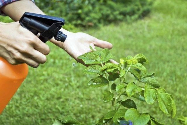 Огородный и садовый «лекарь» - фунгицид топаз, особенности препарата, отзывы, когда обрабатывать