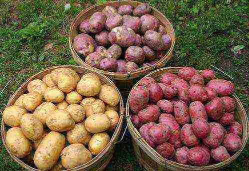 Раннеспелый сорт картофеля «нандина» с хорошей лежкостью