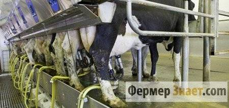Дойка коровы: как это делать правильно?