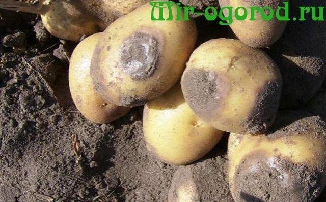 Как бороться с фитофторой на картофеле